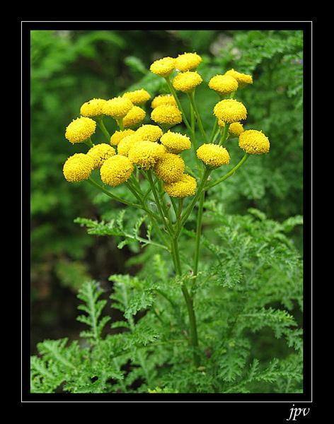 utilisation de la tanaisie, comme insecticide. Tanaisie