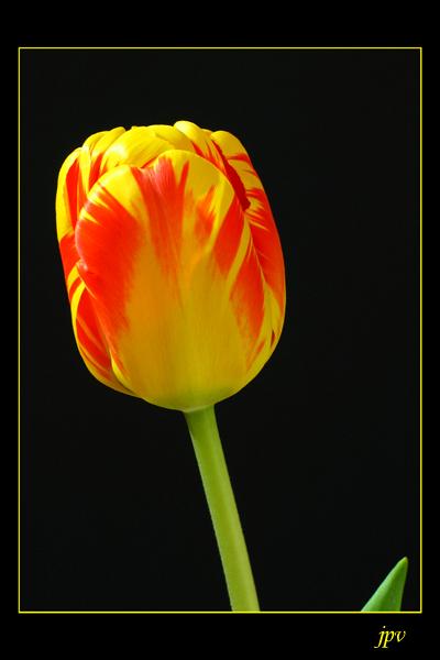 http://jpvhfr.free.fr/images/tulipe01.jpg
