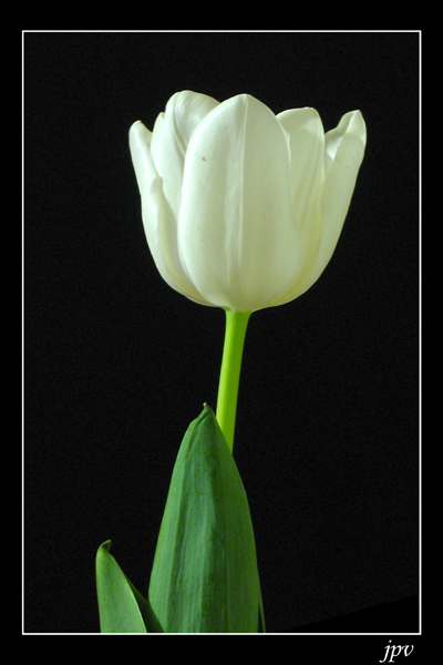 http://jpvhfr.free.fr/images/tulipe02.jpg