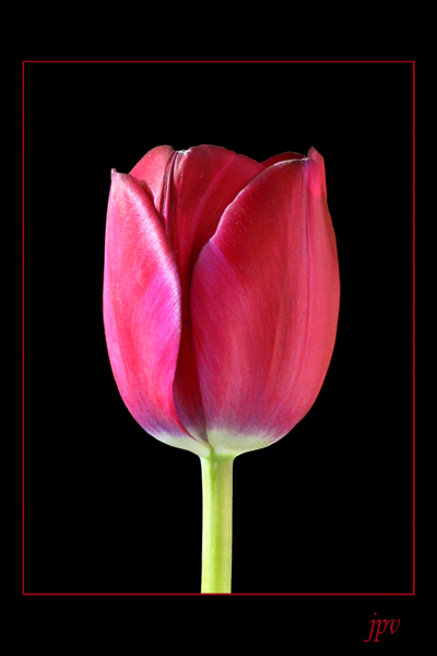 http://jpvhfr.free.fr/images/tulipe03.jpg